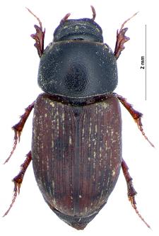 Aphodius porcus (Fabricius, 1792)