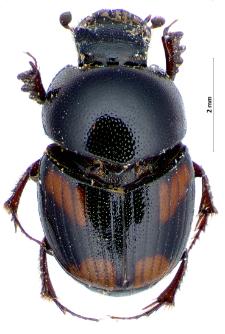 Caccobius schreberi (Linnaeus, 1758)