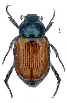 Phyllopertha horticola(Linnaeus, 1758)