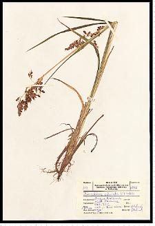 Hierochloë odorata (L.) P. Beauv.