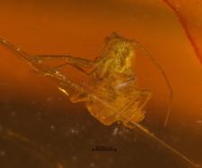 Aphidoidea
