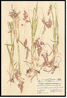 Holcus lanatus L.