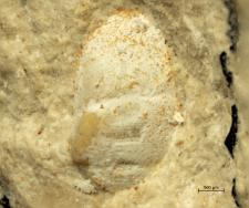 Eodromites species