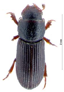 Pleurophorus caesus(Creutzer, 1796)