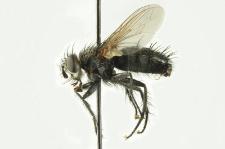 Voria ruralis (Fallen, 1810)