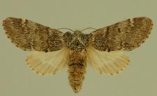 Drymonia dodonaea (Denis & Schiffermüller, 1775)