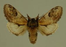 Notodonta ziczac (Linnaeus, 1758)