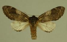 Notodonta tritophus (Denis & Schiffermüller, 1775)