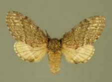 Notodonta torva (Hübner, 1803)