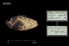Chlidonias leucopterus