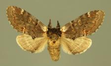 Notodonta dromedarius (Linnaeus, 1767)