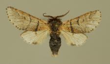 Furcula bifida (Brahm, 1787)