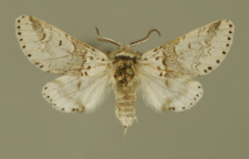 Furcula furcula (Clerck, 1759)