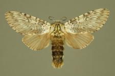 Cerura vinula (Linnaeus, 1758)