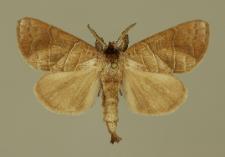 Clostera anastomosis (Linnaeus, 1758)