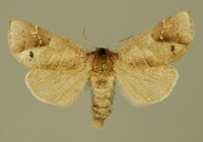 Clostera anachoreta (Denis & Schiffermüller, 1775)