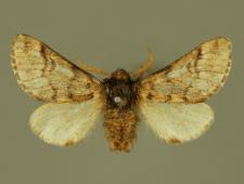 Thaumetopoea pinivora (Treitschke, 1834)