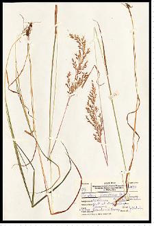 Trisetum flavescens (L.) P. Beauv.
