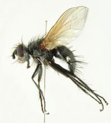Macquartia tenebricosa (Meigen, 1824)