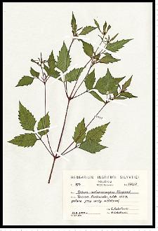 Bidens frondosa L.