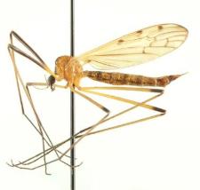 Limonia nigropunctata (Schummel, 1829)
