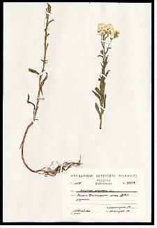 Achillea ptarmica L.