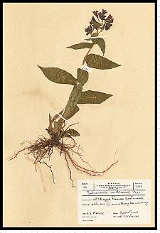 Pulmonaria mollis Wulfen ex A. Kern.