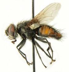 Winthemia quadripustulata (Fabricius, 1794)