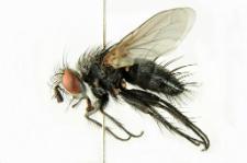 Athrycia trepida (Meigen, 1824)