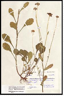 Leucanthemum ircutianum DC.