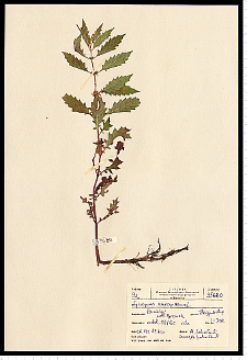 Lycopus europaeus L.