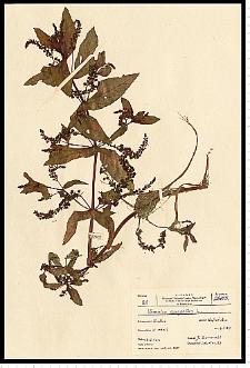 Veronica anagallis-aquatica L.