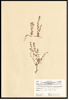 Veronica arvensis L.