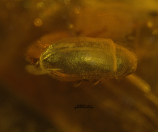 Ptinidae (Dorcatominae)