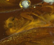 Polycentropodidae