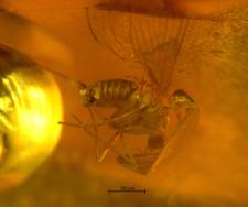 Psychodidae (Trichomyiinae)