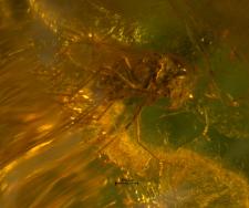 Chironomidae (Tanypodinae)