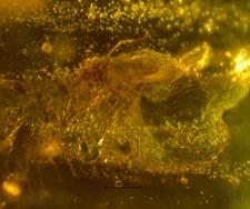 Chironomidae (Orthocladiinae)
