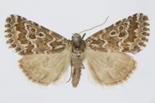 Alvaradoia numerica