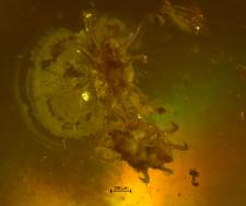 Arachnida (Acarina)