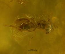 Platygastridae (Scelioninae)