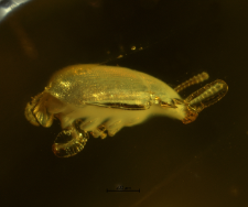 Mycetophagidae