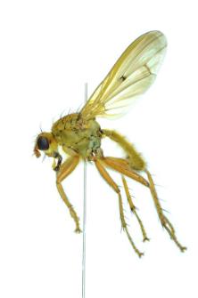 Scathophaga furcata (Say, 1823)