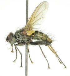 Macquartia dispar (Fallen, 1820)