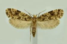 Montescardia tessulatellus (Zeller, 1846)