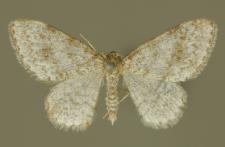 Hydrelia sylvata (Denis & Schiffermüller, 1775)
