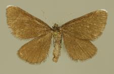 Odezia atrata (Linnaeus, 1758)