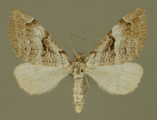 Aplocera praeformata (Hübner, 1826)
