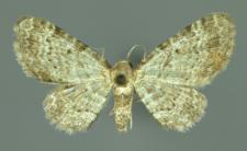 Pasiphila debiliata (Hübner, 1817)