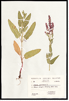 Salvia nemorosa L.